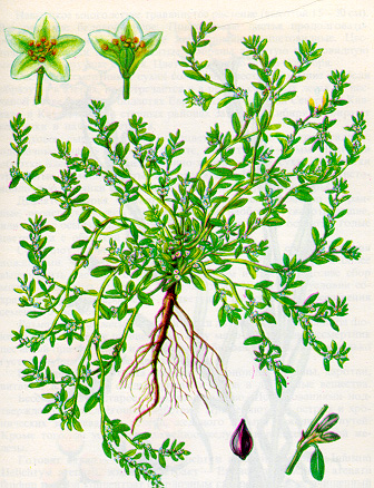 Виноград жемчуг саба гуряшина